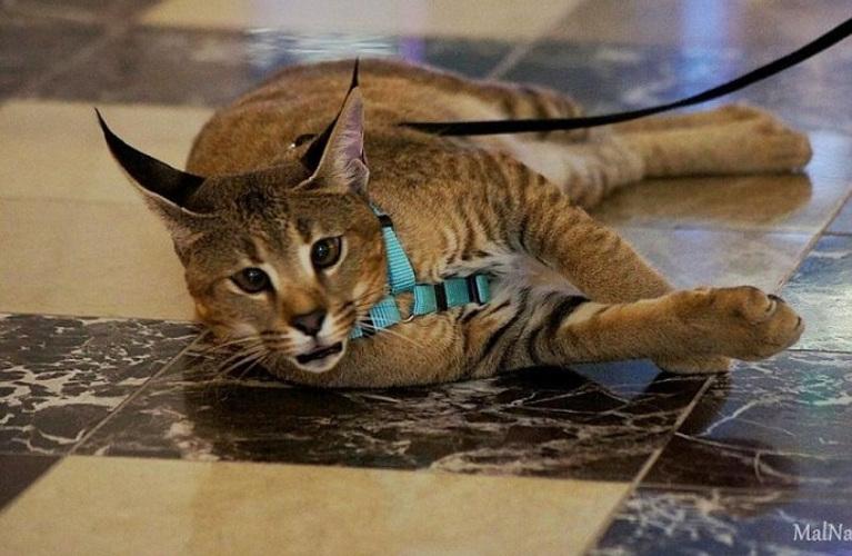 Demi Moor — самая дорогая кошка Санкт-Петербурга